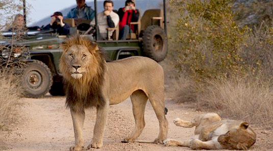 Jaci's Safari Lodge - Madikwe Game Reserve - Lion on Game Drive