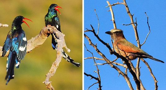 Madikwe Game Reserve -  Green Wood Hoopoes & Purple Roller