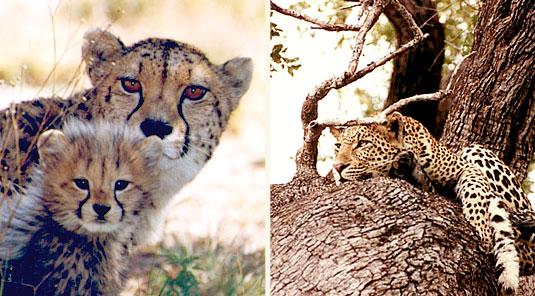 Makanyane Safari Lodge - Madikwe Game Reserve - Wild Cats