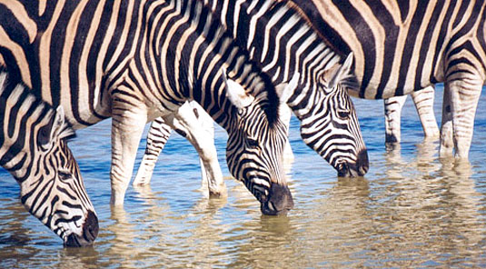 Makanyane Safari Lodge - Madikwe Game Reserve - Zebras