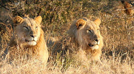 Lions - The Bush House - Madikwe Game Park