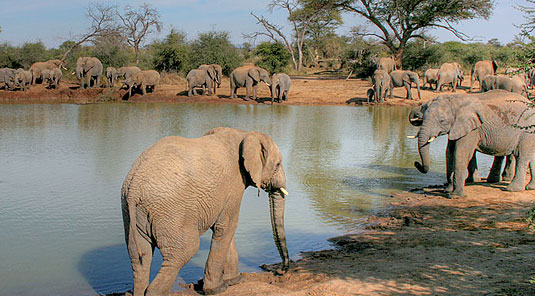 Elephant Herd at Waterhole - Tuningi Safari Lodge - Madikwe Game Reserve